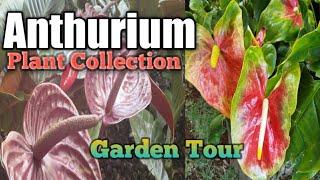 Anthurium Flowers Garden Tour ( How To Grow Anthurium Plant Easy) Anthurium Collection ,Houseplant
