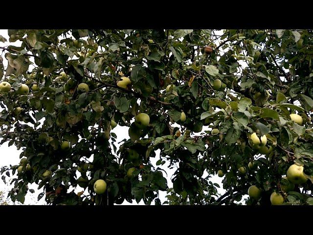 Яблоня Антоновка в Подмосковье