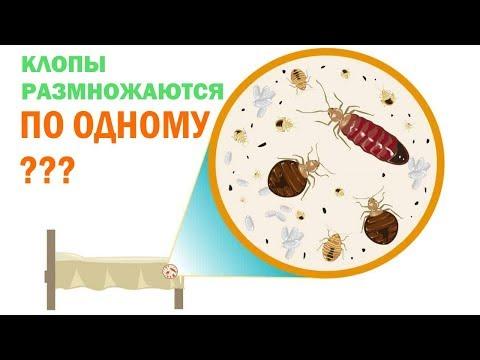 Как размножаются постельные клопы