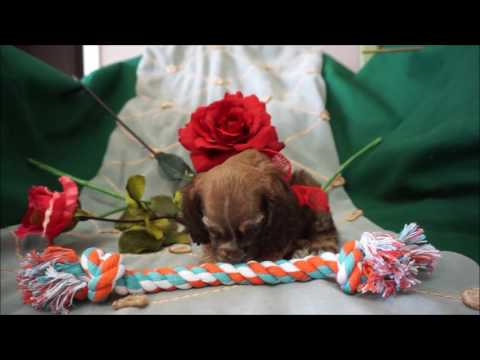 Chewie AKC Chocolate Sable Male Cocker Spaniel Puppy for sale