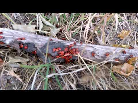 Feuerwanzen Und Kreisende Ameise