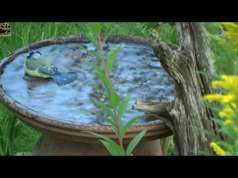 Vögel im Garten beim Baden am Kleinteich und an der Vogeltränke
