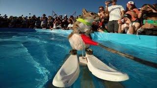 Белка на водных лыжах!