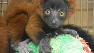 Baby Lemur Gets Adopted By Another Lemur Mom