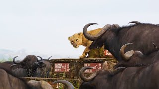 Buffalo Herd Surrounds Lonely Lion