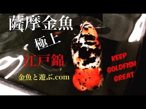 薩摩金魚 極上スーパー江戸錦 goldfish