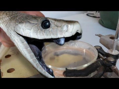 deadly black mamba venom milking brian barczyk