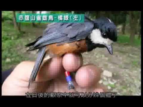 赤腹山雀的巢箱生活 育雛篇