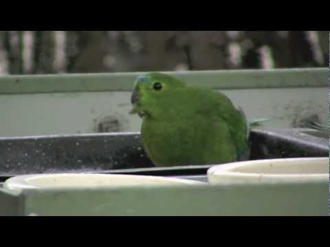 The Orange Bellied Parrot