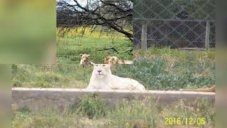 THE SOUTH AFRICAN WILDLIFE – LIONS #SHORT VIDEOS