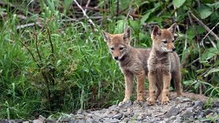 Adorable Coyote Pups - A Heartwarming Story of Survival
