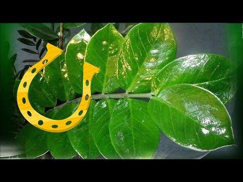 Комнатные растения – ТАЛИСМАНЫ. Биоэнергетика комнатных цветов.