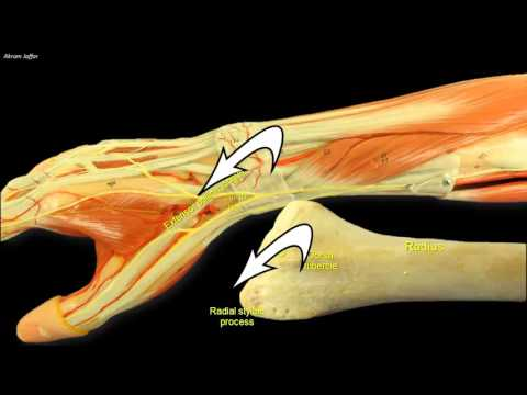 Compartments of the Forearm Extensor Retinaculum