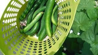 「今日もあなたと百姓一揆!」~旬の有機野菜収穫編@きゅうり3・4番手収穫