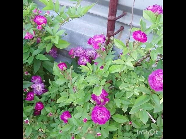 Вейченблау обалденная роза