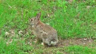 preview picture of video 'Backyard Wildlife of the Northeast May 2014'