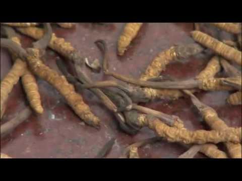 Makati ilong worm
