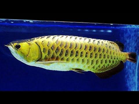 冠軍古典過背金龍魚-2017台灣觀賞魚博覽會 Classical back of the dragon fish