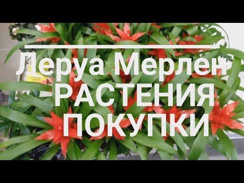 Леруа Мерлен/ДолларовоеДерево/Растения/Покупки