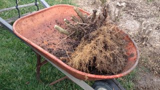 How to Remove a Hedge and Dig out the Stumps