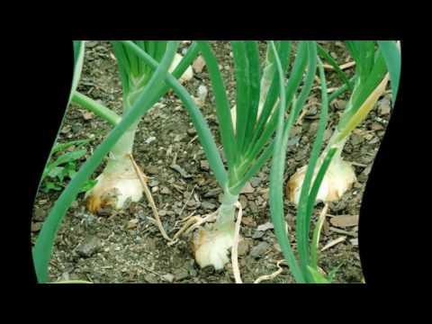 Как поливать севок.Как поливать лук севок