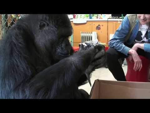 Morre gorila Koko, que se comunicava com humanos