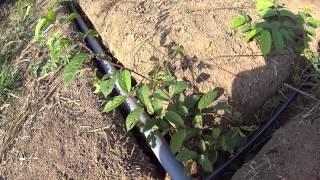 Cách lắp đặt hệ thống tưới phun tại gốc sử dụng ống nhựa PE