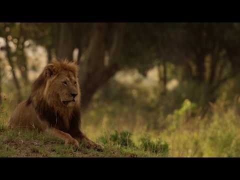 The Safari Collection's Lion King Safari trailer captures the magic of Kenya's real 'circle of life'. This trailer is a taster of our privately led Lion King Adventure that will throw you into close encounters with all of the 'real' characters from the film and enable you to experience the magic and majesty of the breath-taking African Savannah which inspired Disney. Music: Circle of Life by Alex Boyé ft Alisha Popat & Lamarti