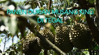 PANEN DURIAN MUSANG KING DI TEGAL