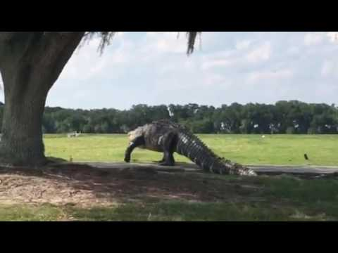 Just In Case You Thought That Giant Gator Was Fake