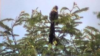 preview picture of video 'wikłacz olbrzymi (Euplectes progne), Long-tailed Widowbird, Langstertflap'