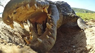 Crocodile scoops up babies into mouth...along with Spy Croc!