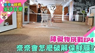 障礙物挑戰EP4 柴犬奈奈會怎麼破解保鮮膜?【奈奈日常】