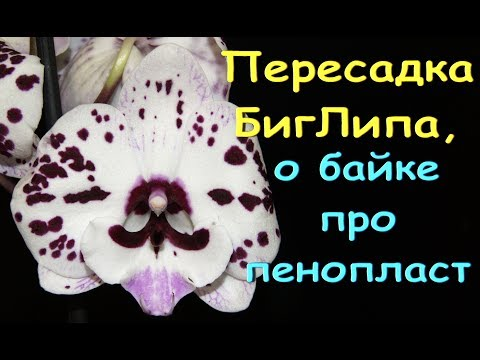 "ОРХИДЕИ:пересадка БигЛипа.БАЙКА про ПЕНОПЛАСТ ""под попу""."
