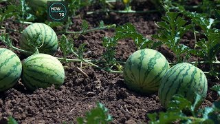 The Success Story of Watermelon Agriculture - Amazing Agriculture Technology   HOW TO