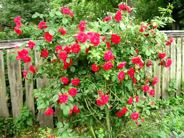Плетистая роза Фламментанц
