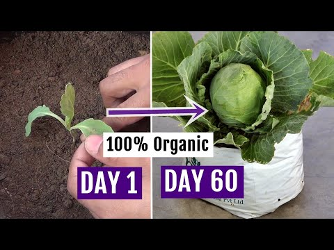 , title : 'How to Grow Cabbage at Home Easily - Complete Growing Guide