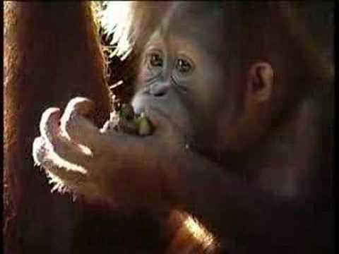 Breakfast with Orangutan - Singapore Zoo