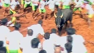 Jallikattu - Bull Race