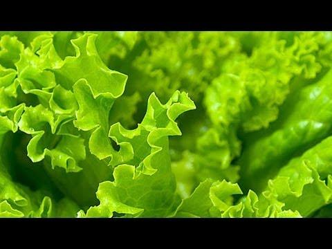Выращивание салата. GuberniaTV