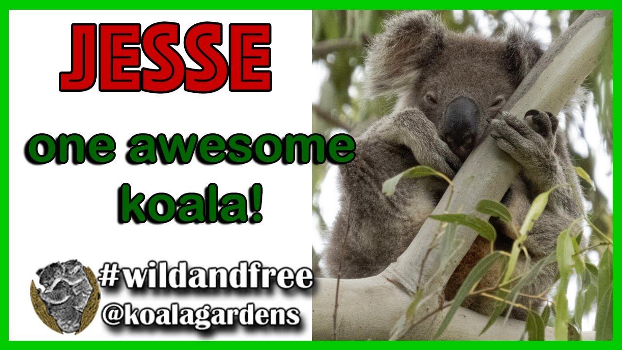 Jesse – one awesome koala!