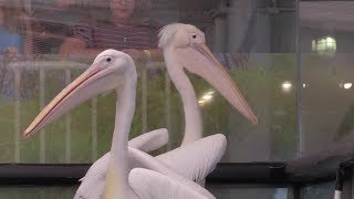 The Dolphin Tale Stars Welcome 3 New Pelicans to CMA