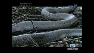 Reporter's Notebook: Jiggy Manicad explores the illegal Philippine cobra trade