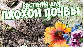 10 растений для скудной почвы - как вырастить цветочные композиции сад огород