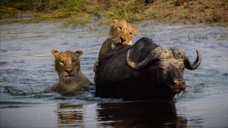 Chobe National Park - Lions attack Buffalo - Oct 10, 2016