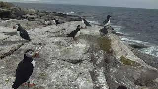 Puffin Loafing Ledge Cam 06-23-2018 16:27:27 - 17:27:28