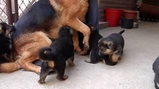 ЩЕНКИ Немецкой Овчарки и их отец. Charming little German Shepherd puppies. Одесса.