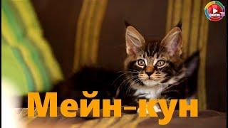 Лучшая порода кошек для ловли крыс