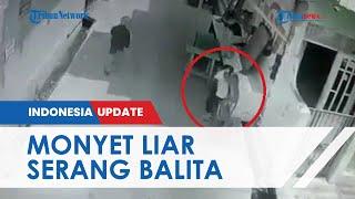 Terekam CCTV Monyet Serang dan Gigit Bocah di Palmerah, Kepala Korban Dapat 22 Jahitan