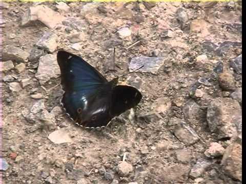 Dunkle Form des Großen Schillerfalter Apatura iris f. iole- 2